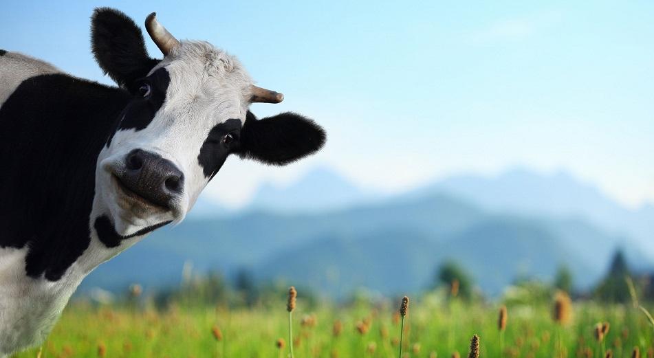 «У нас банально не хватает скота»