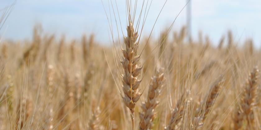 Кормовые под широким «зеленым покровом» дают больший урожай