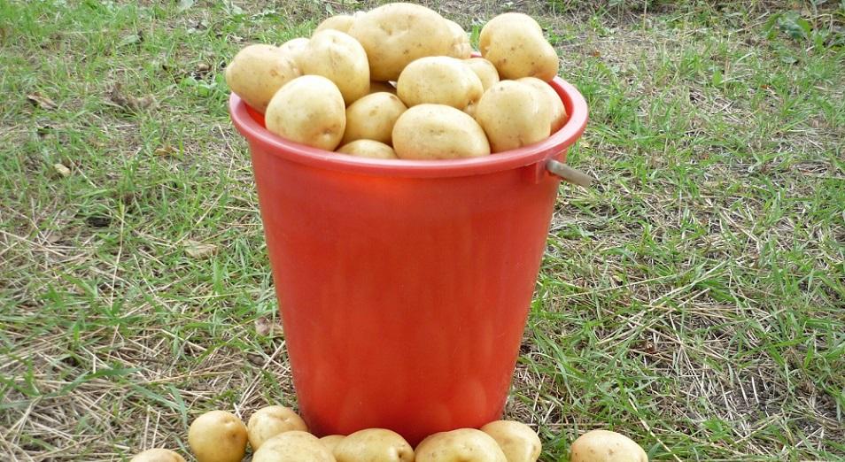 Картофельный коллапс