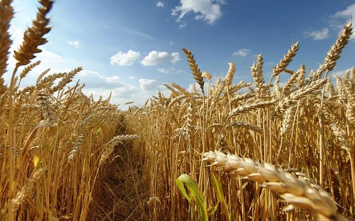Высокую урожайность отмечают в Казахстане в 2016 году