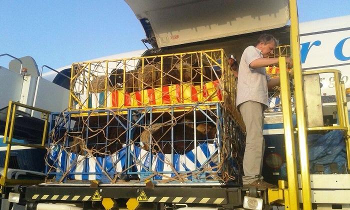 ЮКО начала экспортировать баранов в ОАЭ