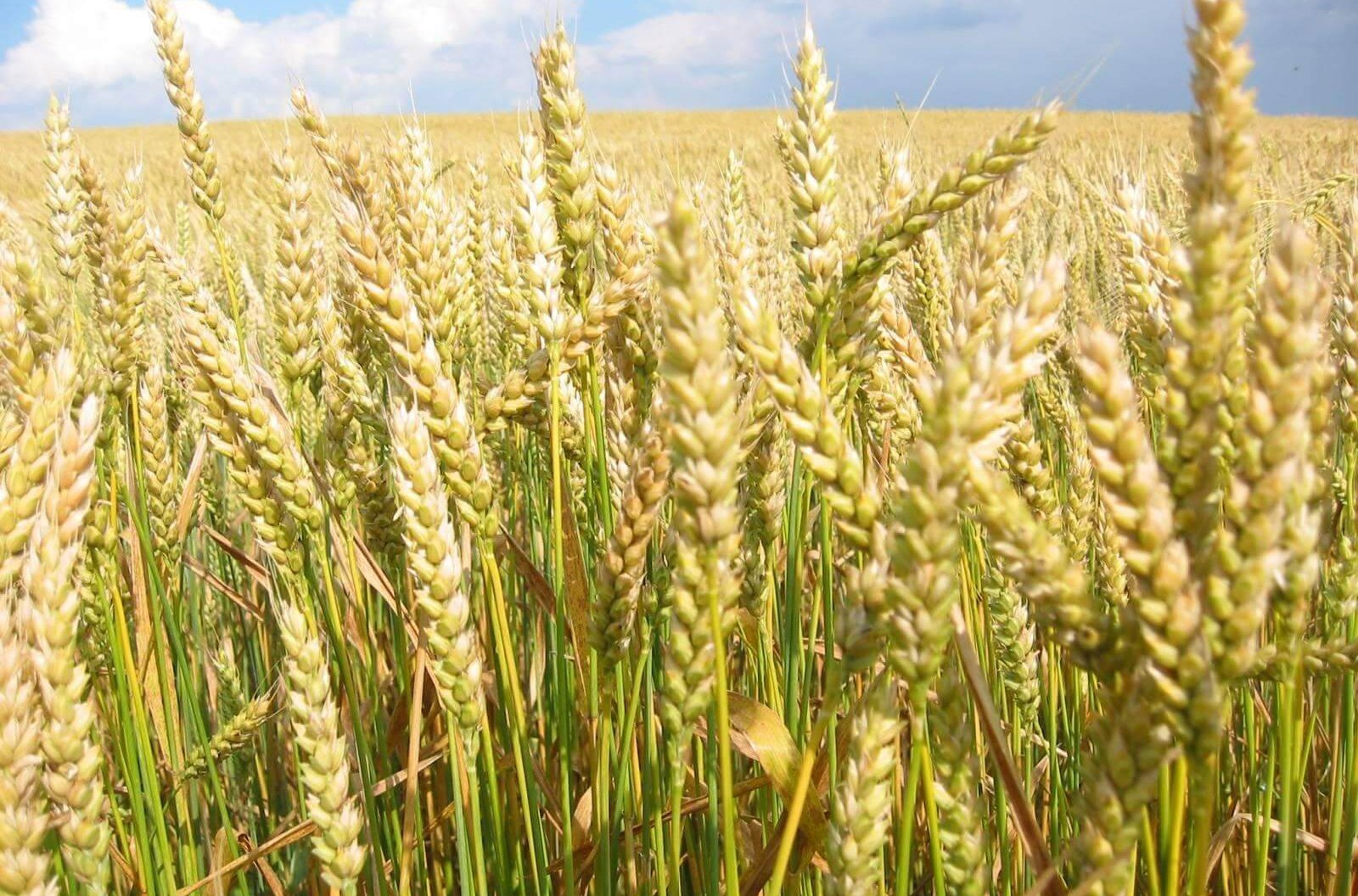 Экспортировать в Европу высокобелковую пшеницу намерены костанайцы, экспорт, Пшеницу, Костанай