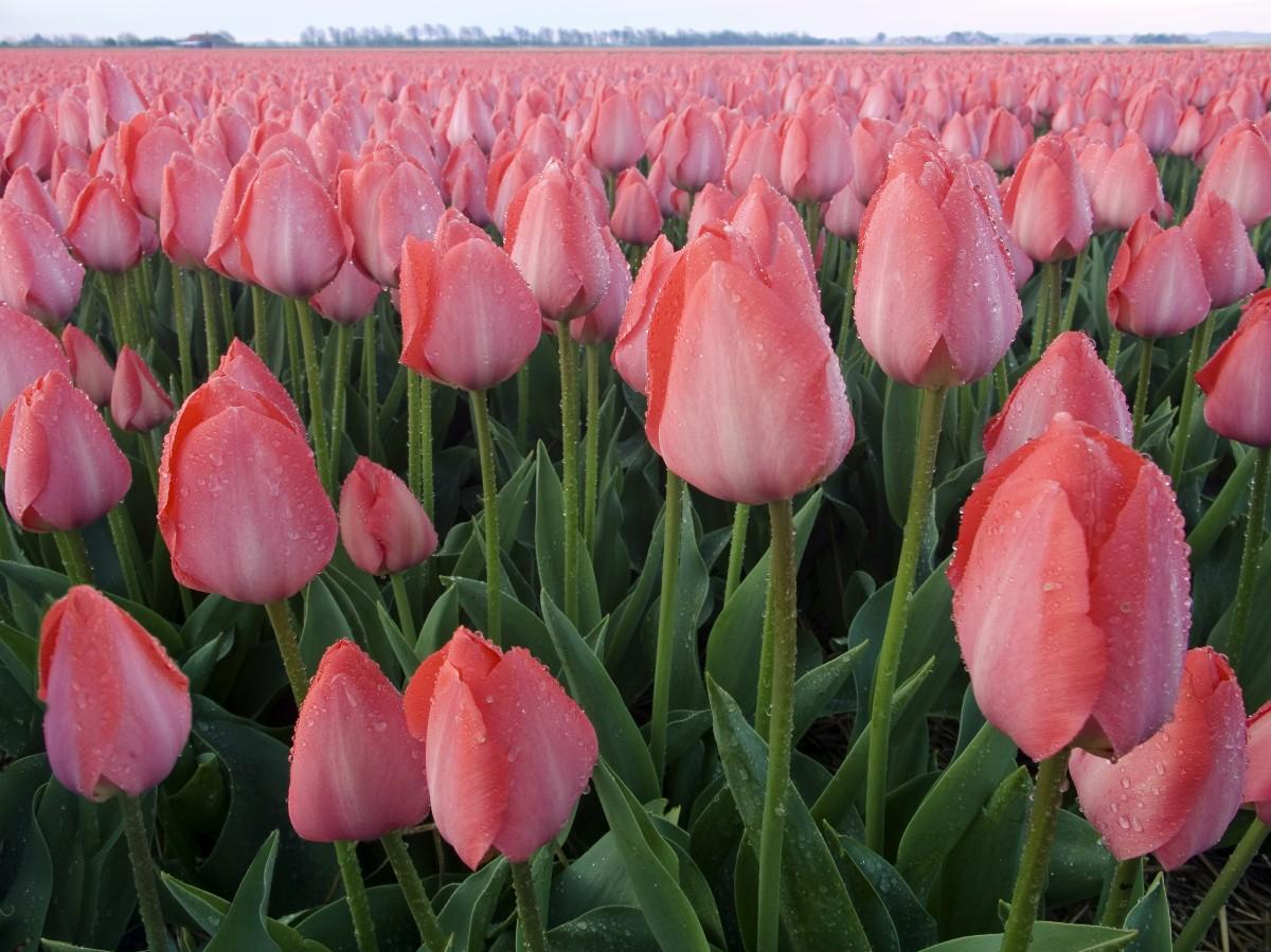В Туркестане зацвели 300 тысяч тюльпанов