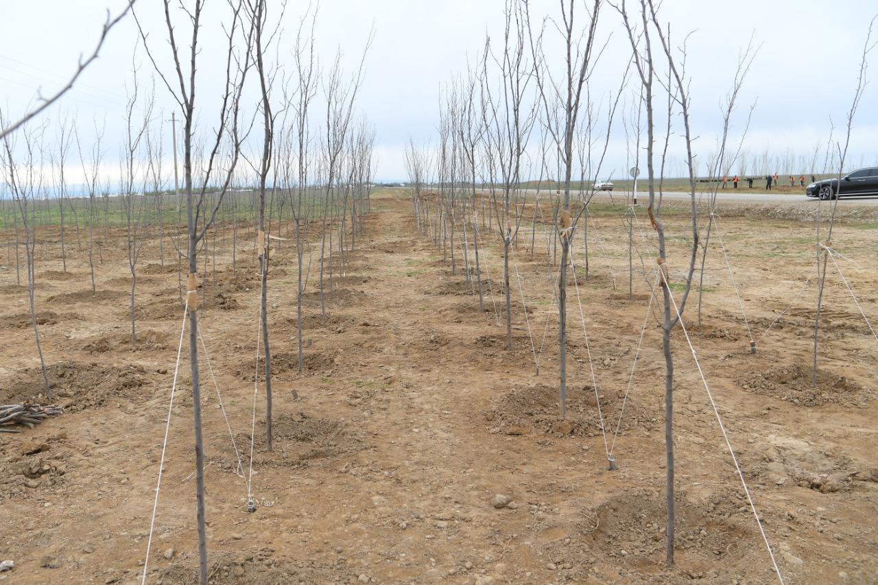 В Туркестане высадили 10 тыс. саженцев самого быстрорастущего дерева в мире