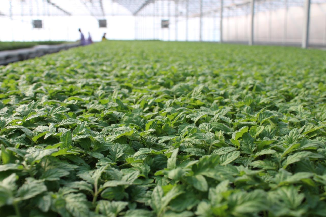 В Сарыагаше выращивают 6 млн кустов рассады в год