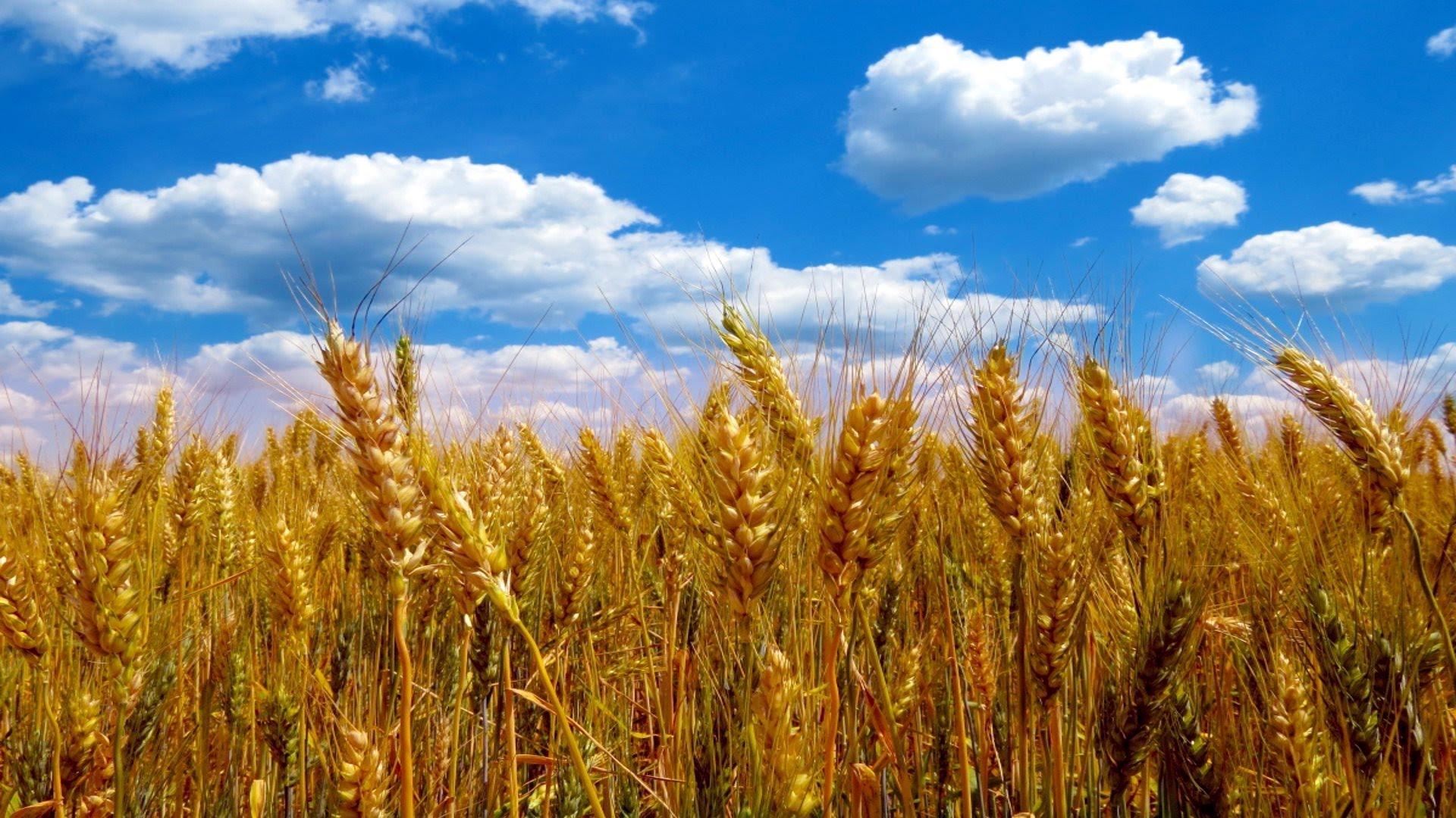 Итальянцы закупают новый сорт пшеницы в Казахстане