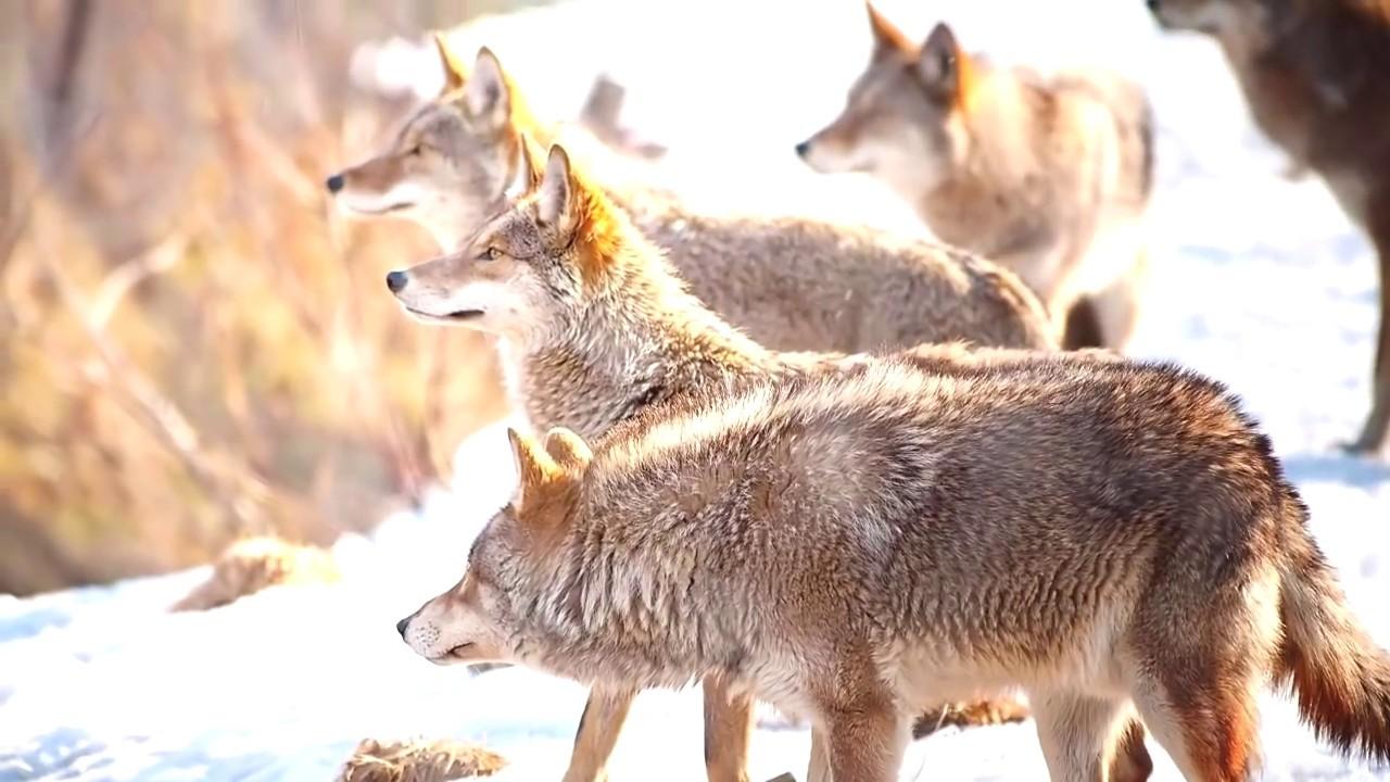 Минэкологии Челябинской области опровергло слухи о нашествии волков из Казахстана