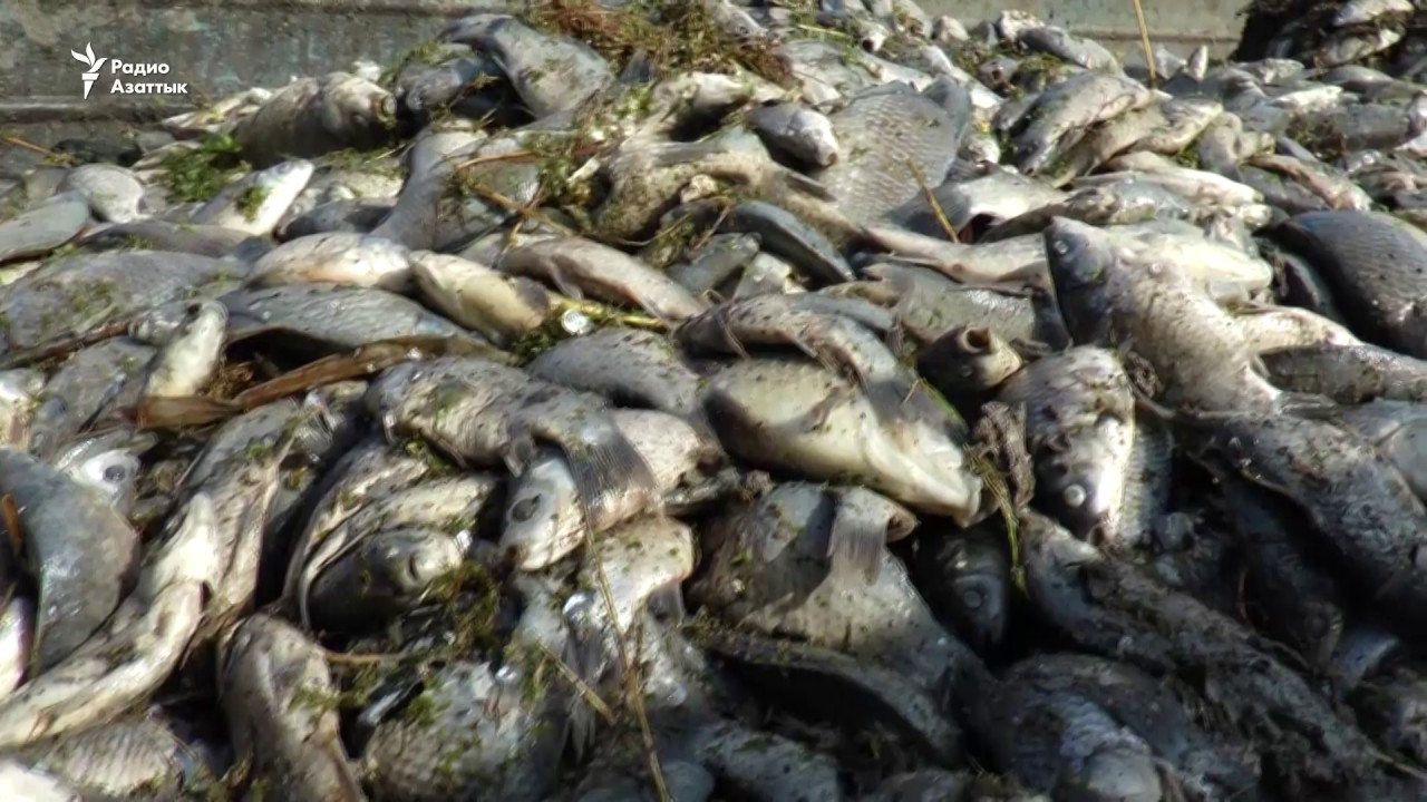 Специальная группа МВД РК  расследует причину массового мора рыбы в Урале , МВД РК, Гибель, Рыба, Урал