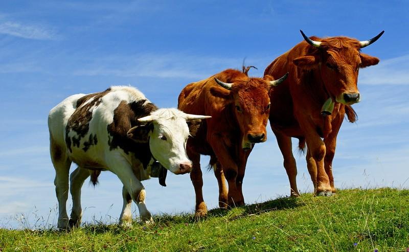 Коров не пропустили в Казахстан из Омской области
