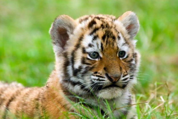 Оренбуржский суд приговорил казахстанца к 10 месяцам колонии за попытку похитить тигренка