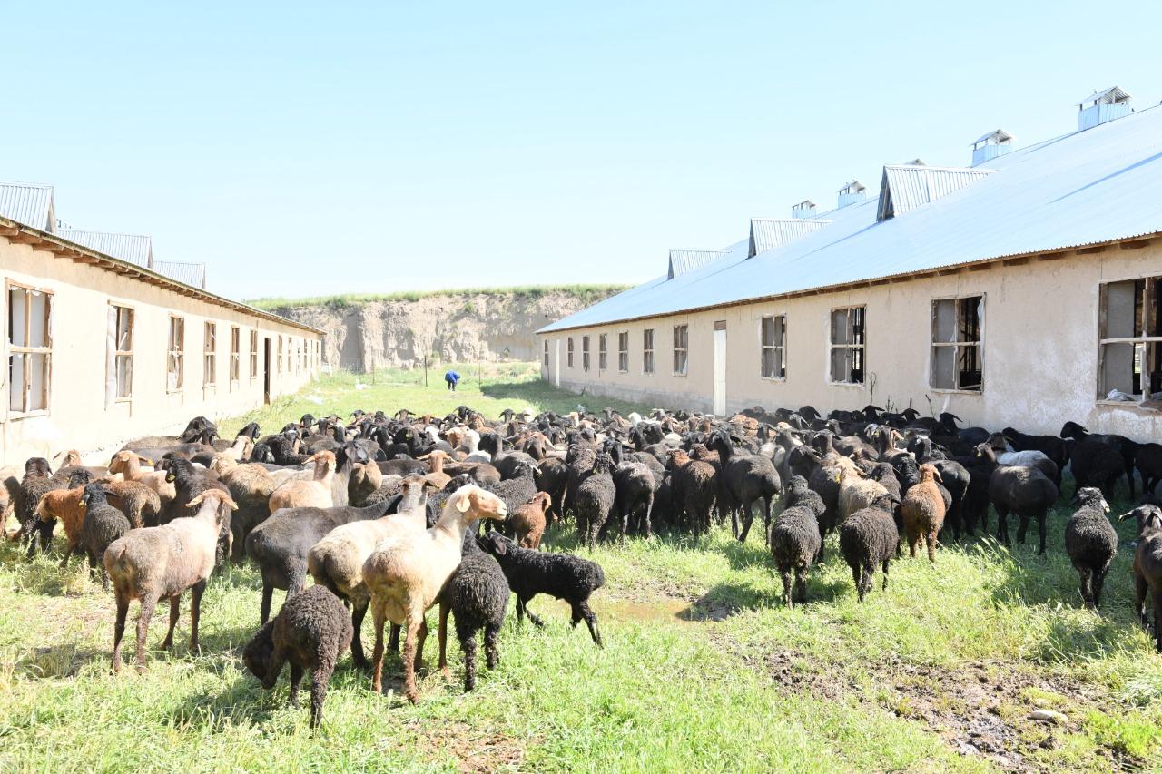 В Шымкенте функционируют 13 станций, занимающихся разведением крупного рогатого скота