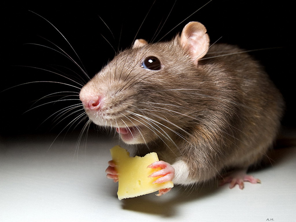 Власти Алматы объявили о начале осенней кампании по уничтожению грызунов, Алматы, Мышь, Крыса