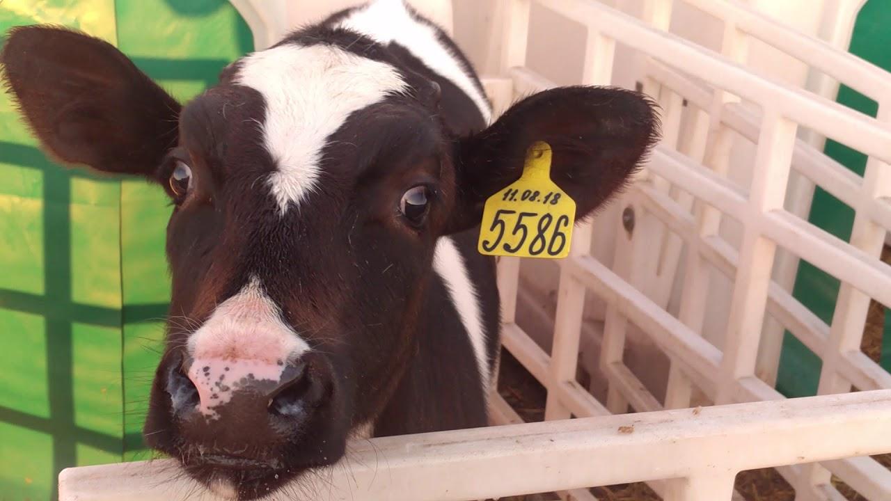 Эффективность балльной оценки упитанности молодняка мясного скота