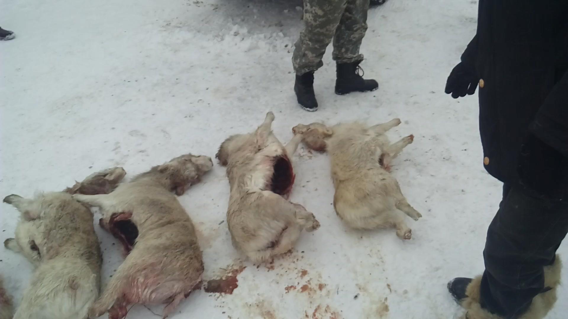 В Актюбинской области задержали браконьеров с тушами сайгаков