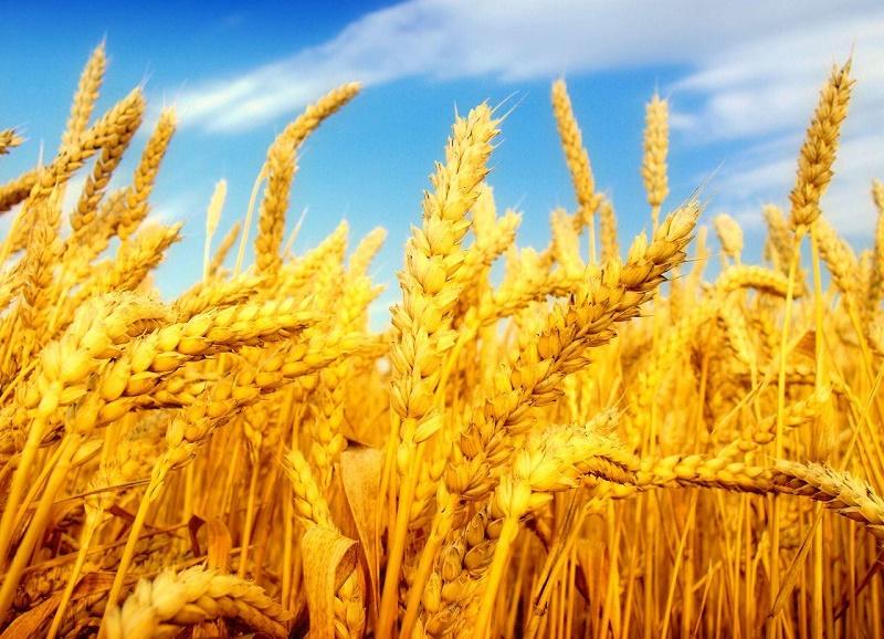О прогнозе объема урожая рассказали в МСХ РК