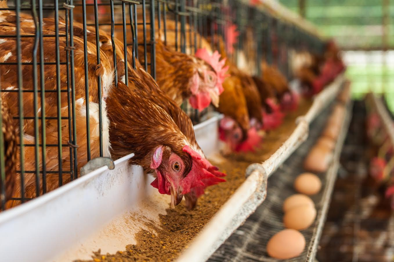 Заявлений по птичьему гриппу в Казахстане не было