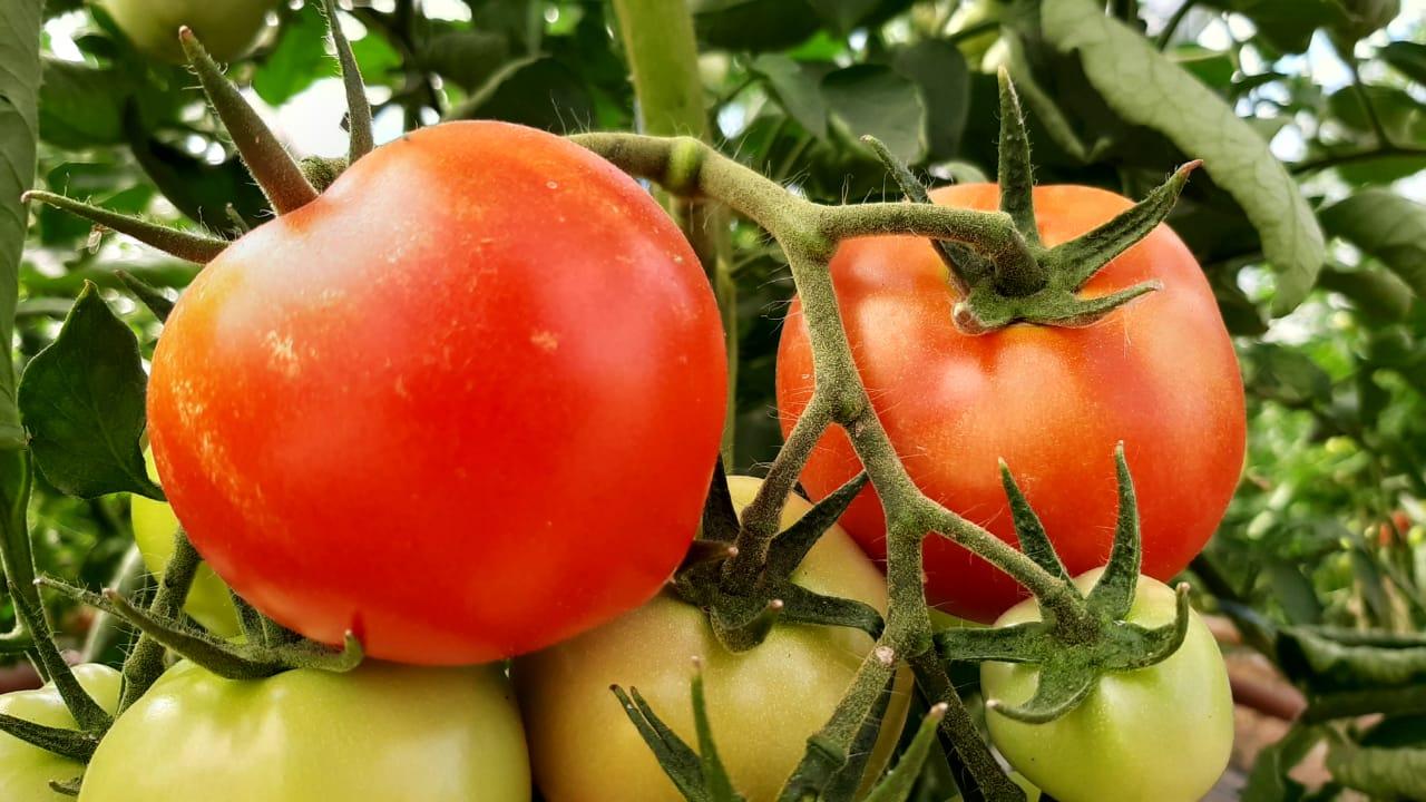 Минсельхоз прогнозирует удешевление овощей