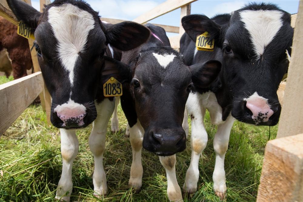 Качество молозива коров специализированных молочных пород