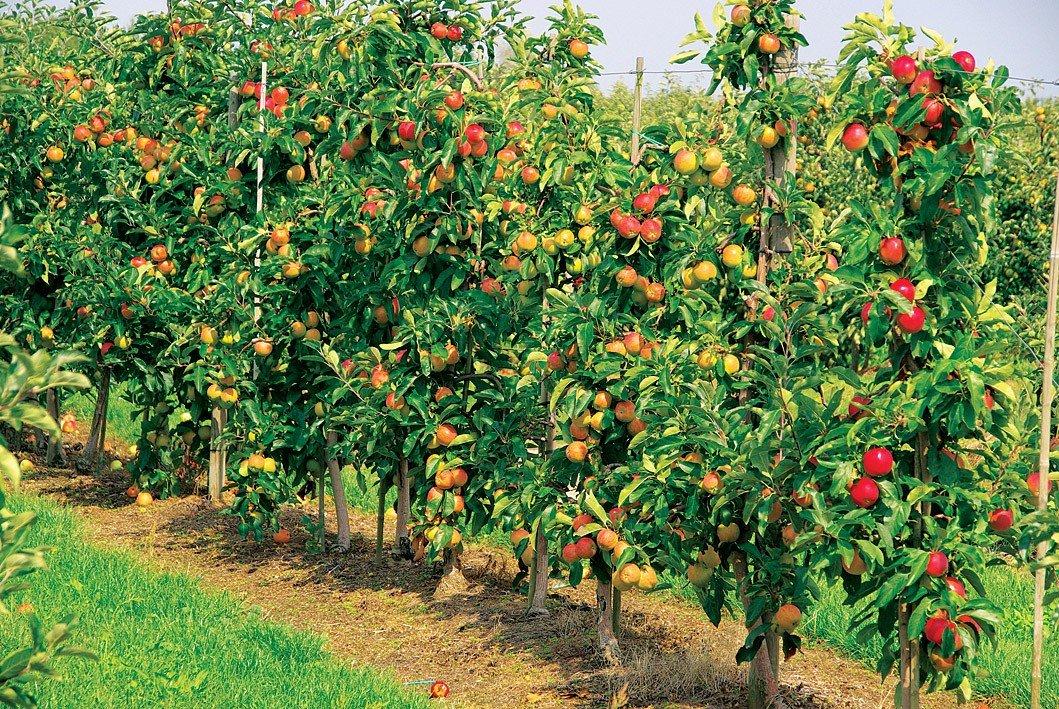 Для возрождения казахстанского садоводства требуется 10 млн саженцев
