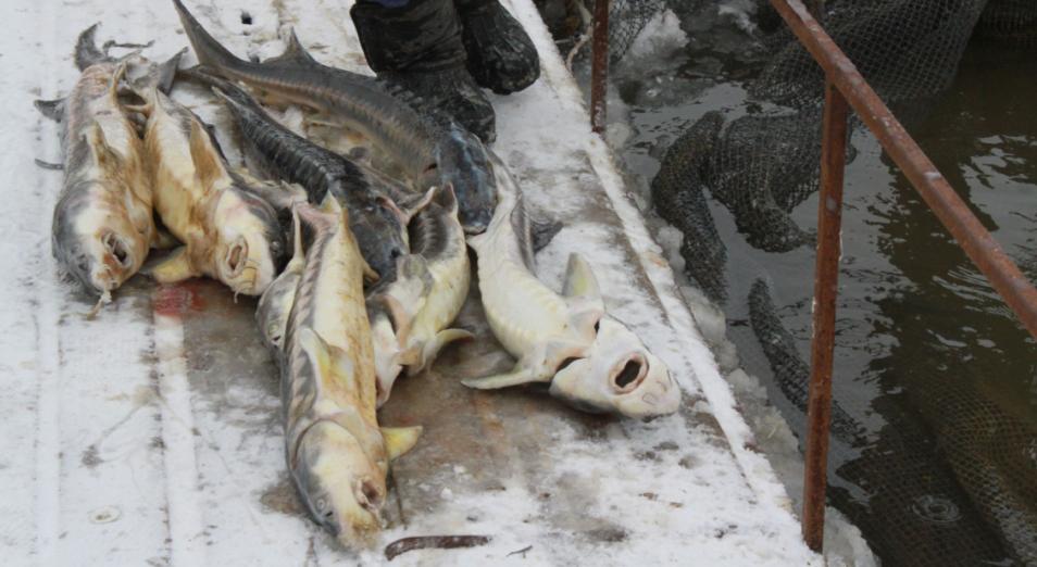 Комиссия назвала потенциальные предприятия, виновные в гибели рыб в Атырау , Рыба, Атырау , Гибель рыбы, экология
