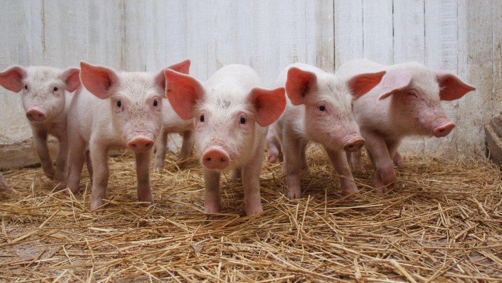 Реализация продуктивного потенциала иммунотропными препаратами и профилактика болезней свиней , сельское хозяйство, Свиноводство, Животноводство, Ветеринария, иммунодефицит
