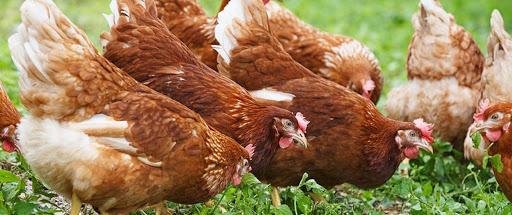 Полтысячи тонн мяса птицы будут производить в районе Атырауской области