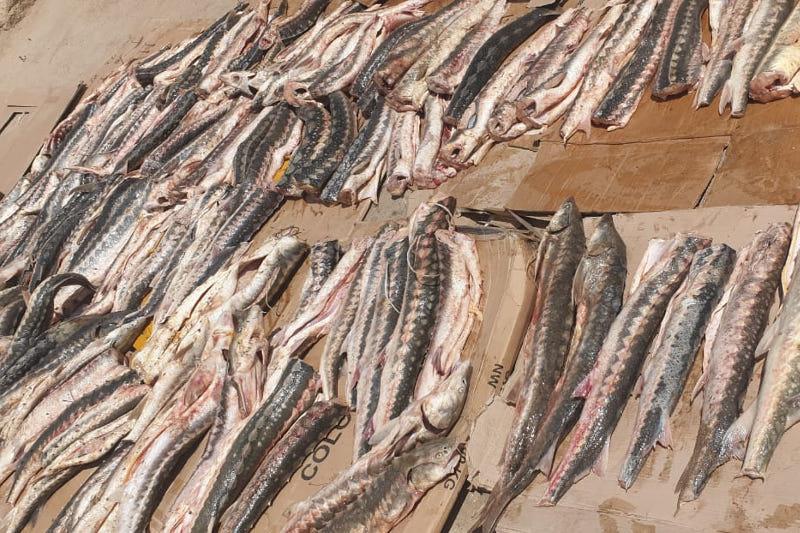 У жителя Мангистауской области изъяли более 500 кг рыбы осетровых пород