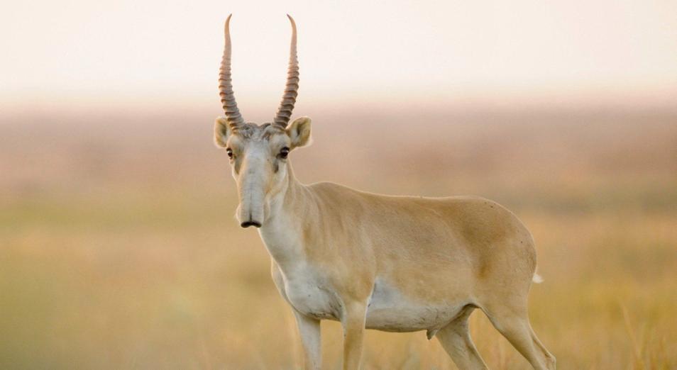 Эксперты «превращают» сайгаков и джейранов в домашних животных