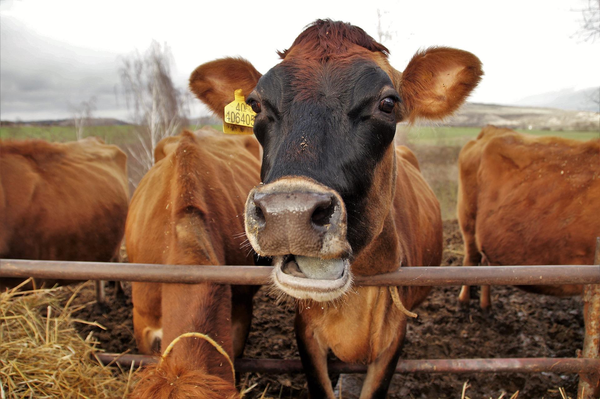 Скрытый потенциал продуктивности молочного скота