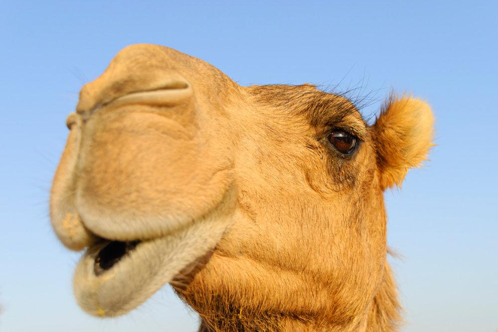 Два десятка погибших верблюдов обнаружено на берегу Каспия в Мангистауской области