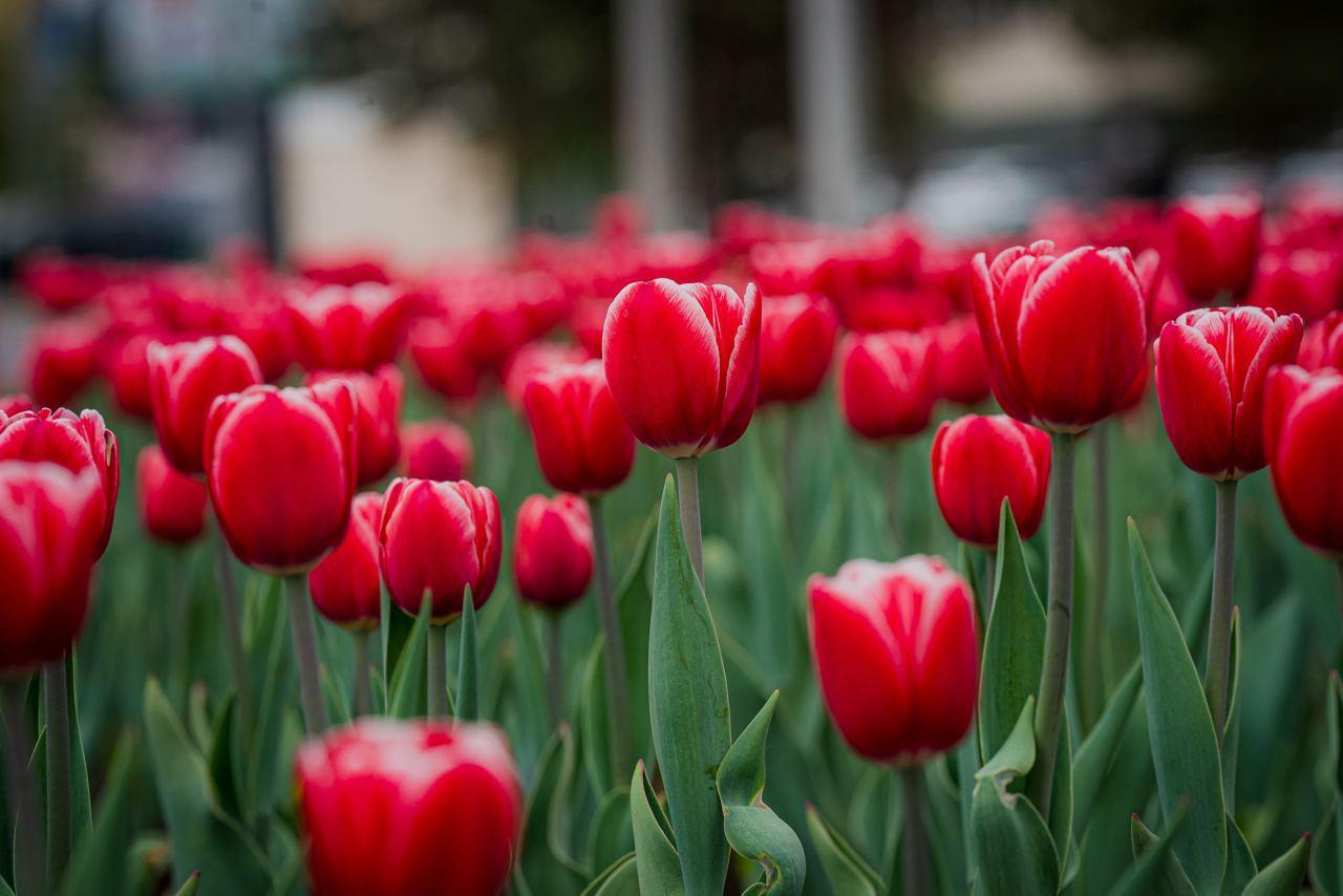 Впервые за 10 лет в Нур-Султане высадили тюльпаны