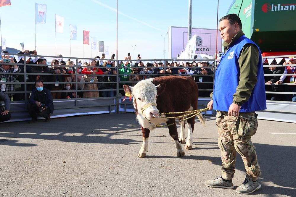 Казахская белоголовая против быков-герефордов и ангусов: кто победит на соревнованиях в Нур-Султане
