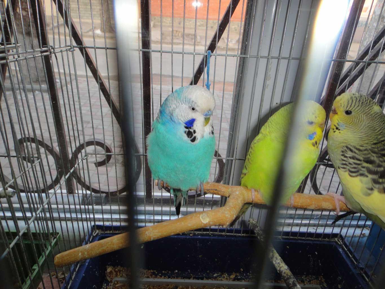 Казахстанка незаконно планировала ввезти на родину из Кыргызстана  200 попугаев