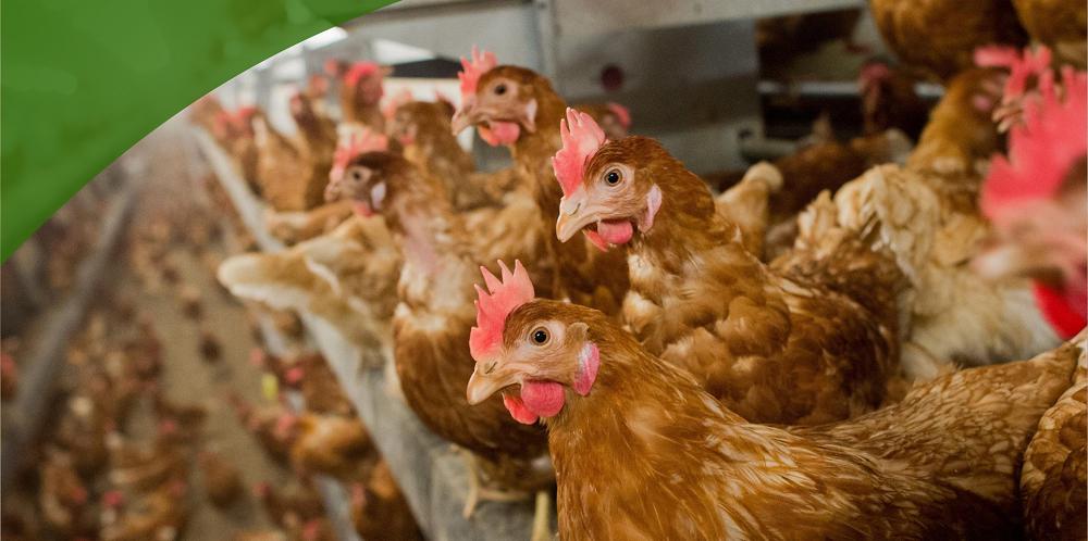 Компенсации пострадавшим от птичьего гриппа выплачены в полном объеме
