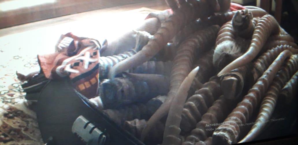 Рога сайгака на 5 млн тенге обнаружили у браконьеров в Туркестанской области