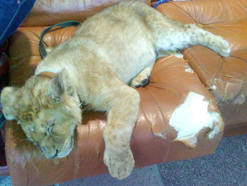 Названа причина смерти маленького львенка в алматинском зоопарке