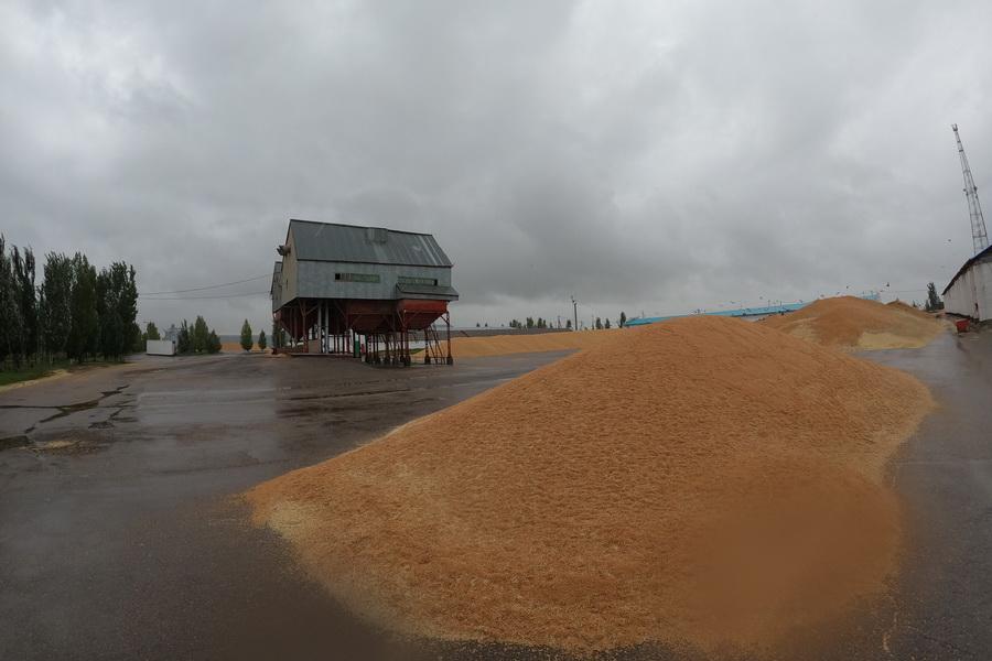 Урожай зерна в Казахстане может сгореть