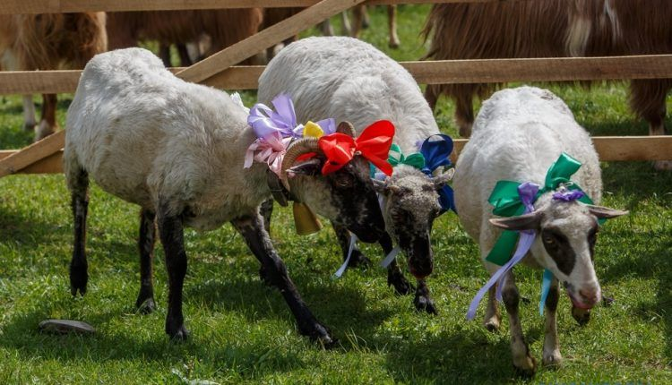 В Китае прошел конкурс красоты среди… овец