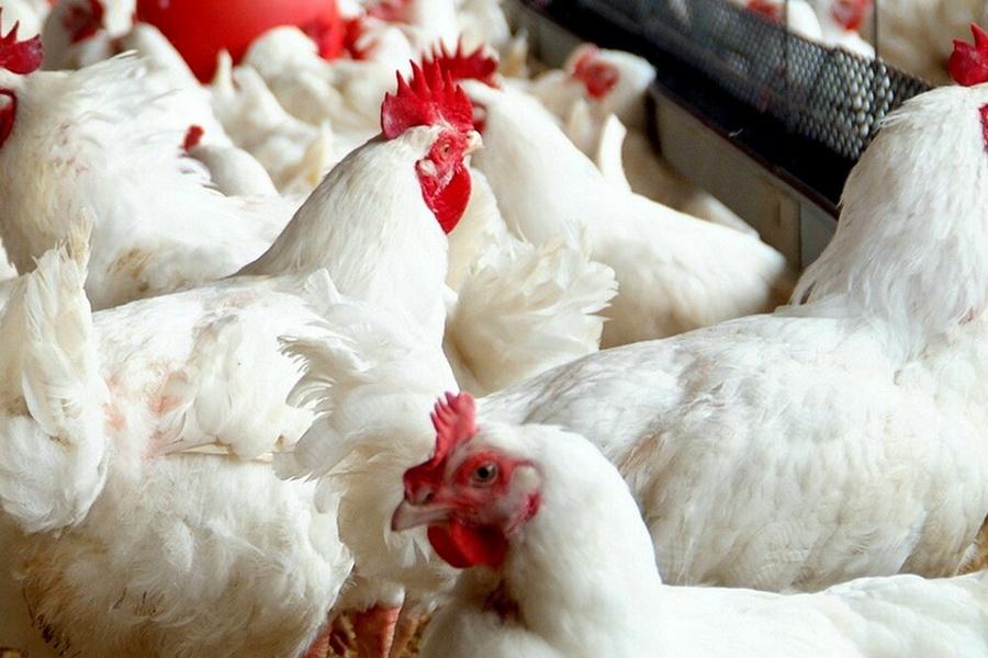 Аркалыкская птицефабрика начала получать компенсацию за павшее от птичьего гриппа поголовье