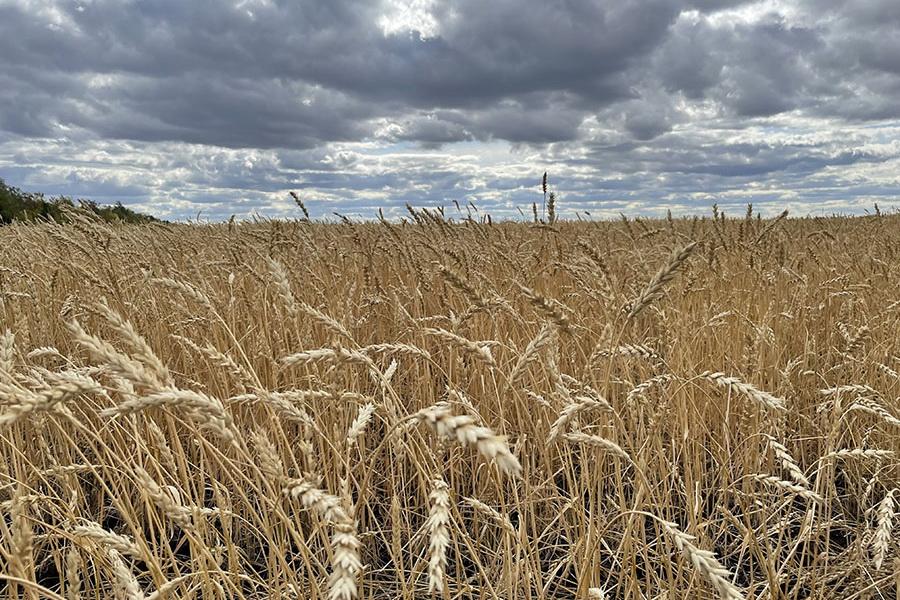 Ученые РК работают над созданием жаростойких сортов зерновых