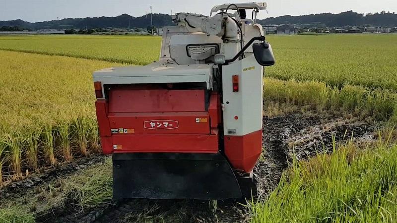 Уборка риса началась в Кызылординской области