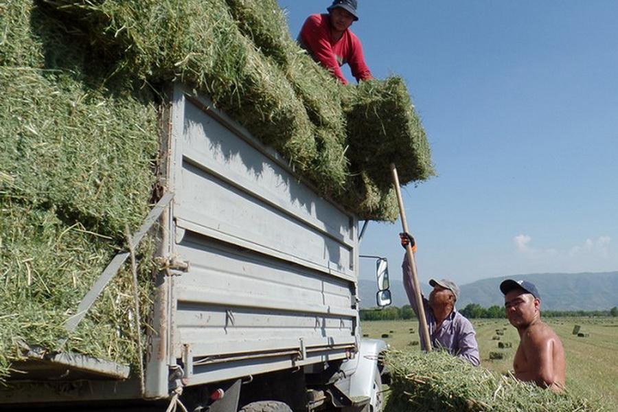 Посевы кормовых культур в Алматинской области увеличили на 7 тыс. га