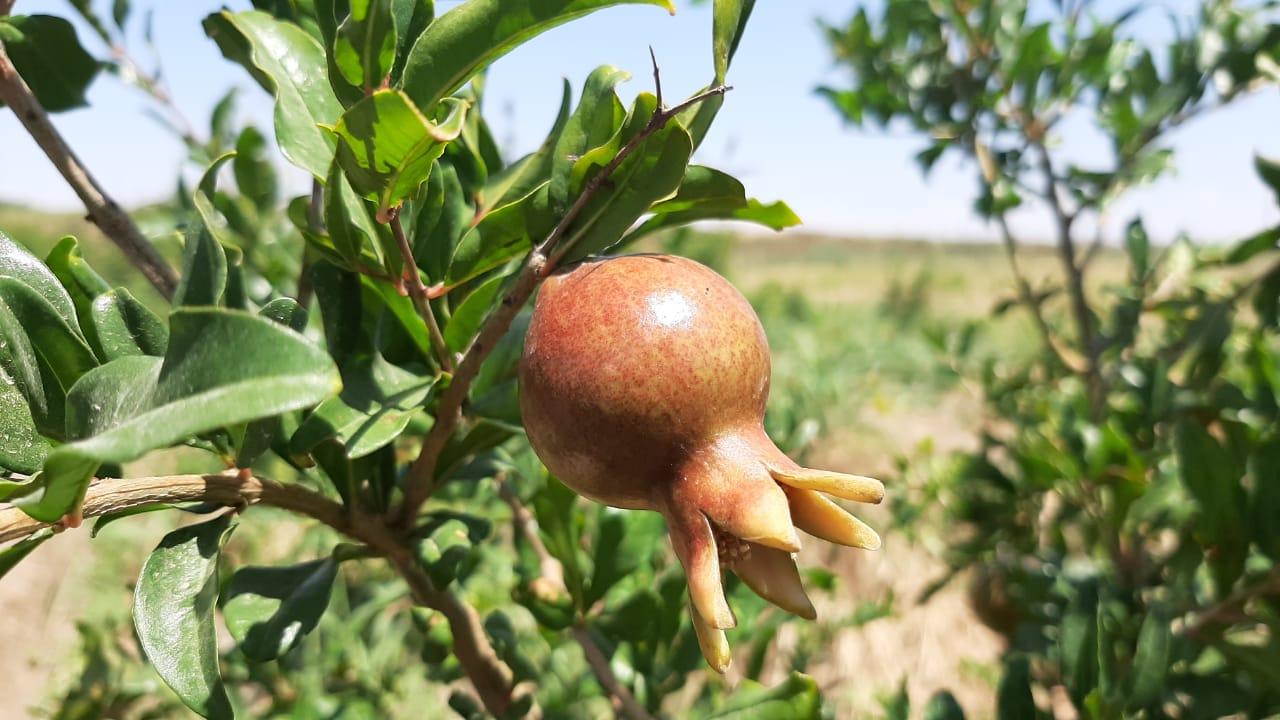 Ордабасинский земледелец выращивает тропические фрукты