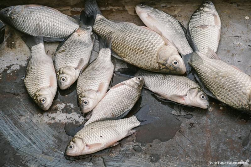 В устье Урала в Атырауской области собрали более тонны снулой рыбы
