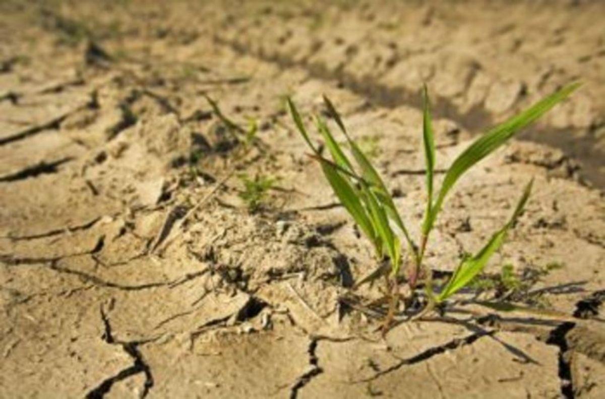 Производители риса могут потерять урожай из-за засухи