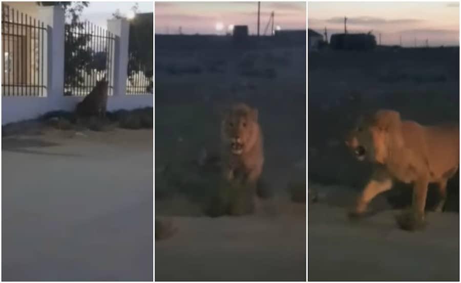 Ақтауда қолға түскен арыстан Алматы зоопаркіне барады