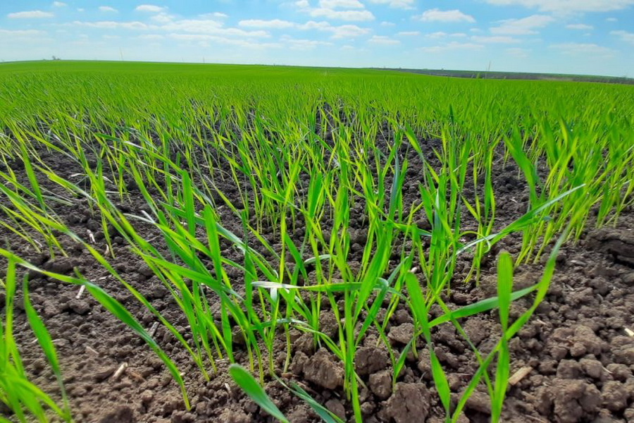 В Казахстане продлили сроки страхования посевов от засухи
