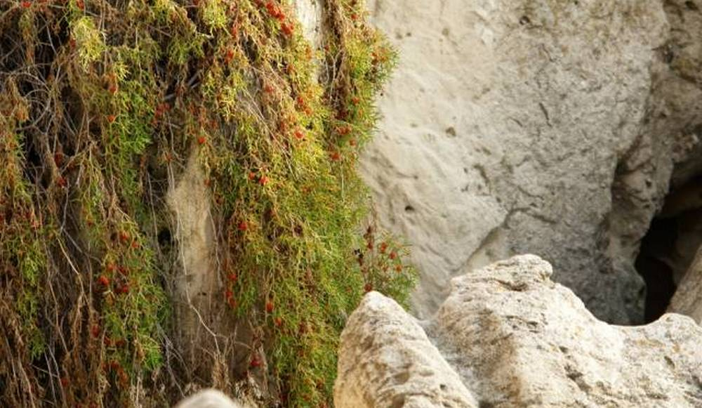 Жители Актау возмутились уничтожением краснокнижного растения на Скальной тропе