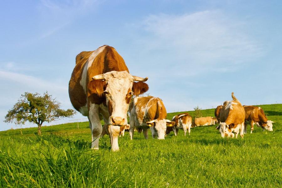 Еще 16 молочных ферм планируют запустить в СКО