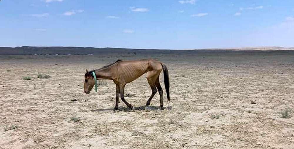 В Кызылординской области погибло почти 500 голов домашнего скота